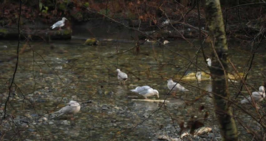 Goldstream Park Salmon Spawn